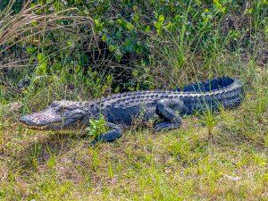 Alligator in de buurt van Miami